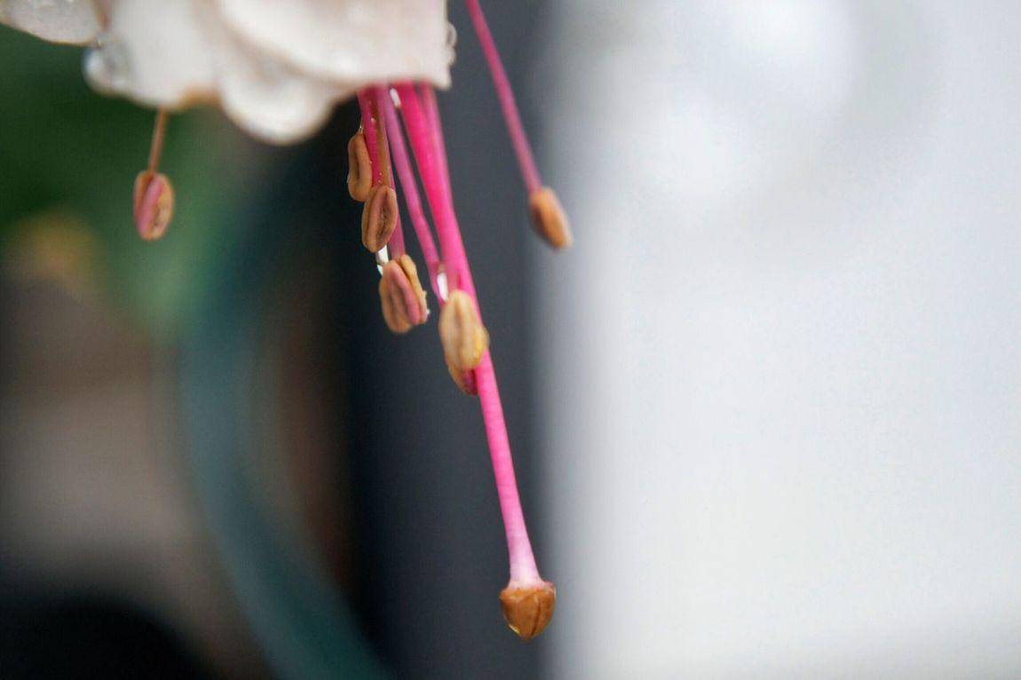 Nature's Diversities Freshness Selective Focus Macro Photography Macro_flower Macro FuschiaPinkFlowers Daytime Pink Nature Stamens Pollen After The Rain Water Drops