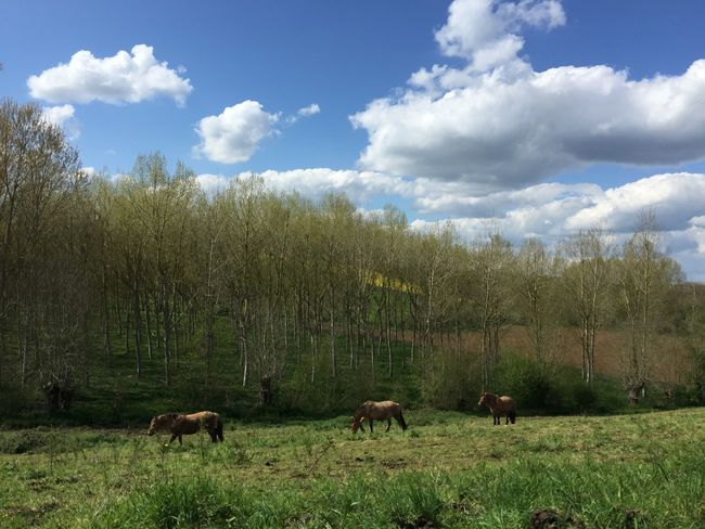 Animal Themes Beauty In Nature Cloud Cloud - Sky Day Domestic Cattle Field Grass Grassy Grazing Green Color Growth Herbivorous Landscape Livestock Mammal Nature No People Rural Scene Scenics Sheep Sky Tranquil Scene Tranquility Tree