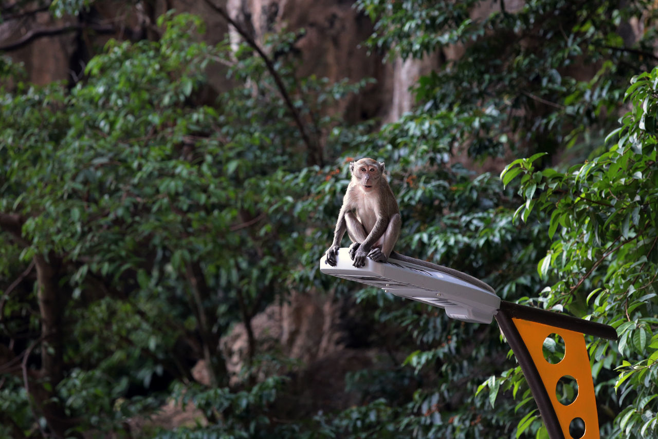 Animal Themes Batu Caves Batu Caves -Malaysia Kuala Lumpur Kuala Lumpur Malaysia  Monkey No People One Animal Sitting