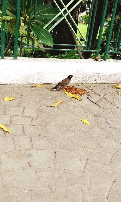 Birds Common Mynah