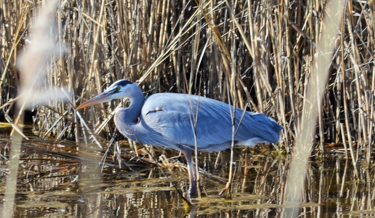 one animal, heron, great blue heron, animals in the wild, animal themes, animal wildlife, bird, gray heron, nature, water, day, lake, no people, outdoors, plant, perching, close-up