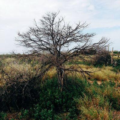 Observando el frágil circulo de la naturaleza. Un árbol carbonizado adorna los lados del camino, creciendo sobre una alfombra verde que resalta sobre los amarillos de la escena. En unos años un árbol similar deleitara con su sombra y su figura. Macanao IslaDeMargarita Venezuela Vscocam Adventureseries January