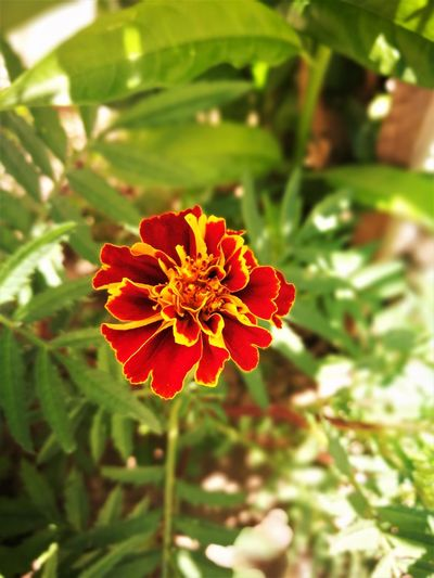 Red YellowFlower Beauty In Nature Bigphotolancer Blooming Close-up Day Flower Flower Head Focus On Foreground Fragility Freshness Green Color Growth Nature No People Outdoors Petal Plant Red Red Marigold Red Yellow Flowers Red Yellow Orange Zinnia