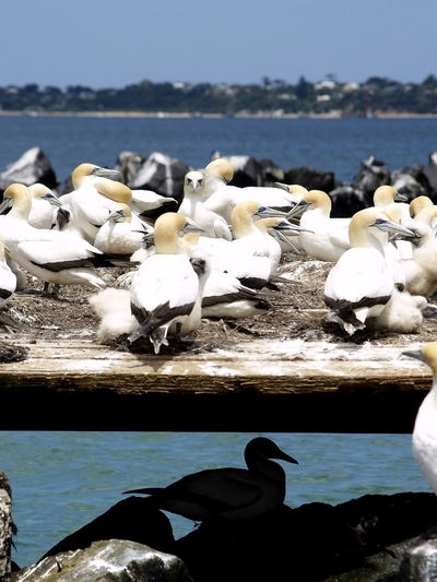 Animal Themes Australasian Gannets Beach Bird Nature Shore The Lonely One Water