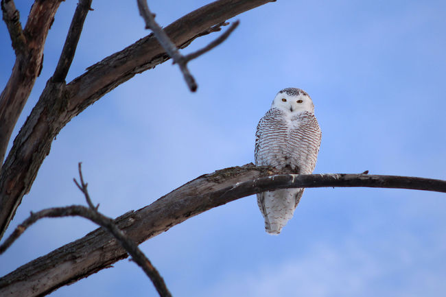 Animals In The Wild Bird Birds Bubo Scandiacus Canada Clear Sky One Animal Owl Perching Snowy Owl Wildlife Winter