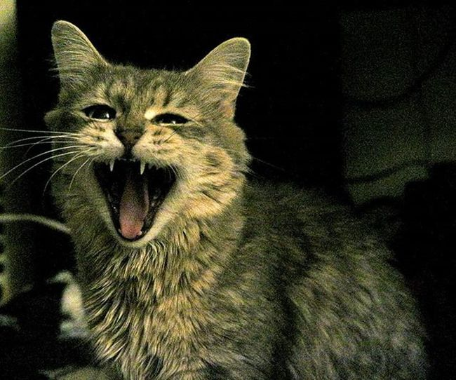 Silly face! @thafluffin8or @ckim18 Cats Cat Silly Sillygirl Sillycat Funnyanimals Funnyface FunnyFaces Kitty Kittycat Tail Furry Fluff Fluffy Fluffycat Fluffykitty Fluffycats Noflash Nofilter Yawn Yawning Yawningcat Cute Cuteanimals