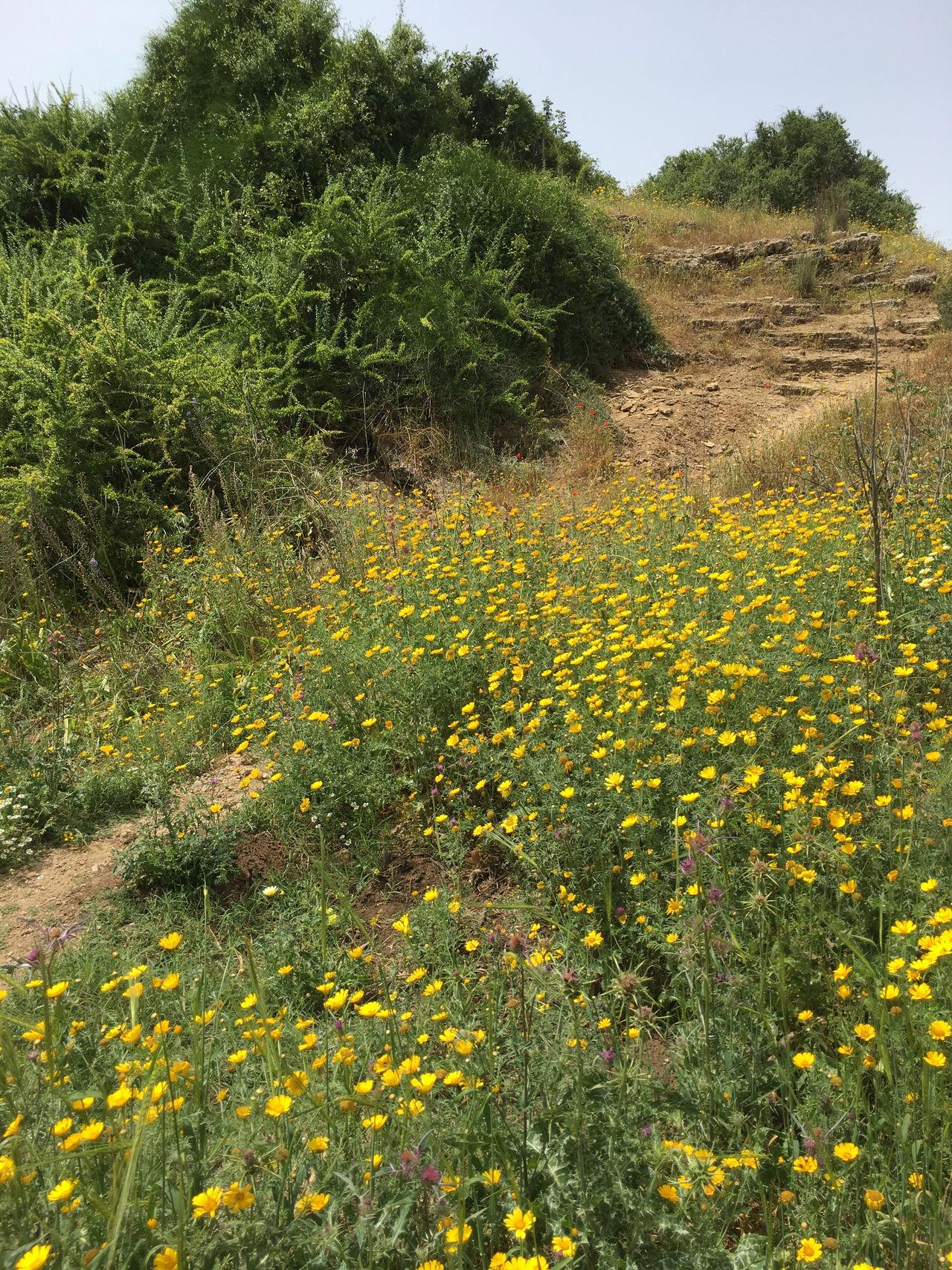Flower Growth Park Yakum Path Plant Yakum Park Yellow
