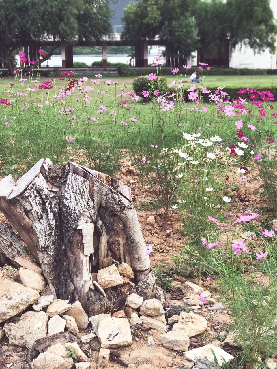 flower, nature, cemetery, day, outdoors, plant, growth, memorial, tree, no people, beauty in nature, tranquility, grass, gravestone, graveyard
