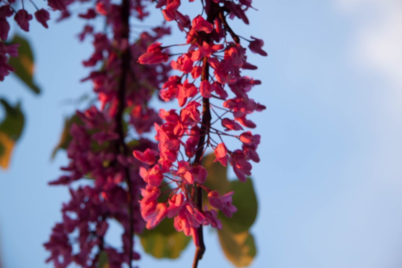 beauty in nature, nature, growth, flower, leaf, fragility, day, tree, outdoors, autumn, no people, low angle view, maple tree, freshness, branch, clear sky, red, close-up, sky