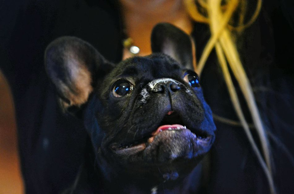 Pets Corner Dragon Dog Cane Bouledogue Francais Dog Love I Love My Dog❤ Bulldogfrances Bouledogue Francese Dog❤ Bouledoguefrancais Bulldog Francese Bouledogue Francese Piemonte