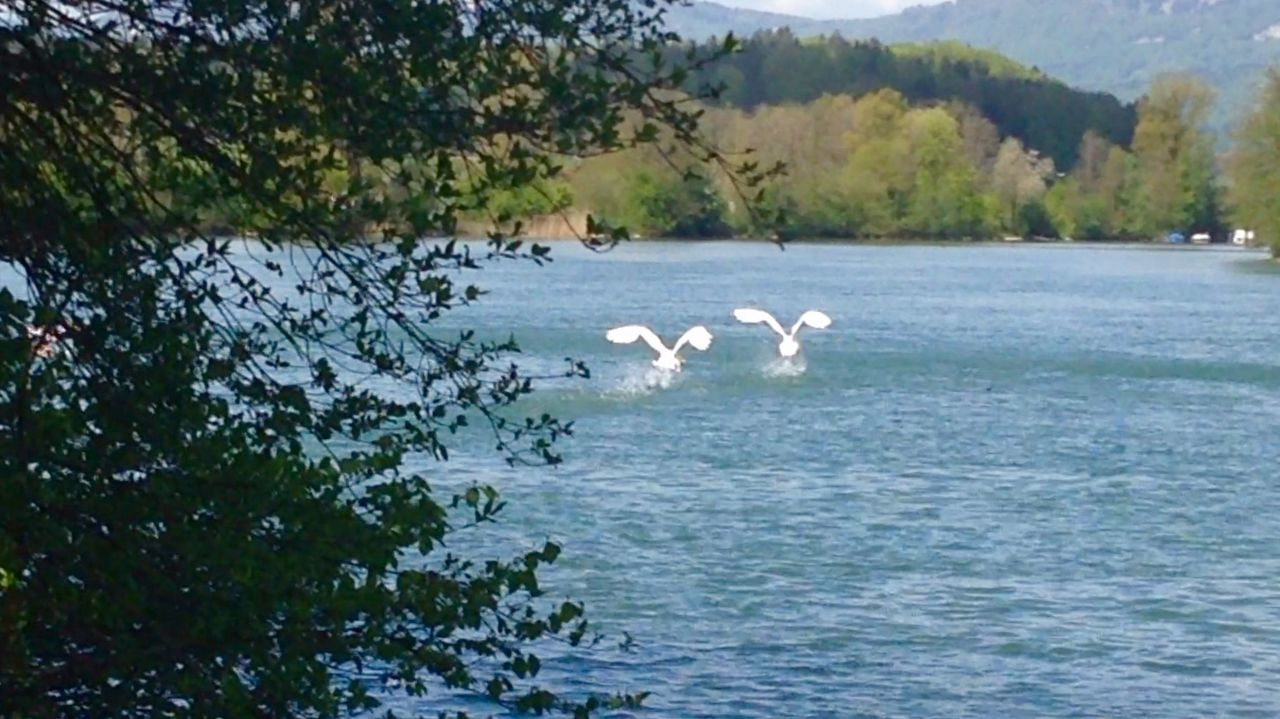 nature, lake, animals in the wild, beauty in nature, water, bird, day, animal themes, no people, swan, tree, scenics, outdoors