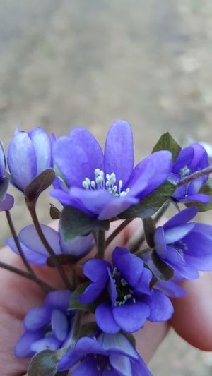 Flower Beauty In Nature Nature Fragility Freshness Purple Plant Growth Petal Flower Head No People Close-up Outdoors Day Blossom Blossoms  Blossoms In Hand Hand Violet Violet Flower Violet In Hand Violet Flowers Flowers Blossom Flowers