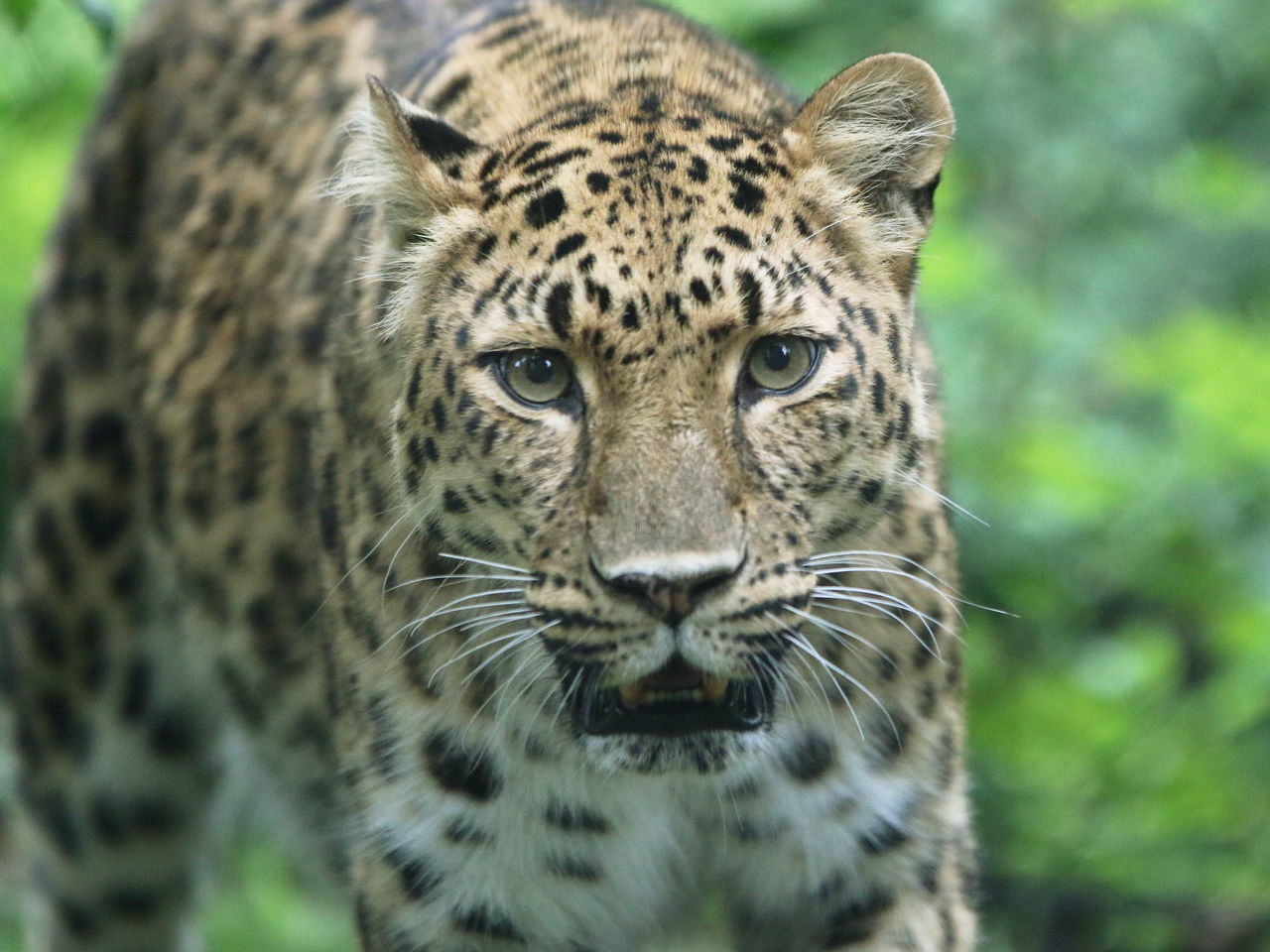 Animal Themes Animal Wildlife Animals In The Wild Cheetah Close-up Day Eye Contact Leopard Looking At Camera Mammal No People One Animal Outdoors Portrait Spotted Zoo