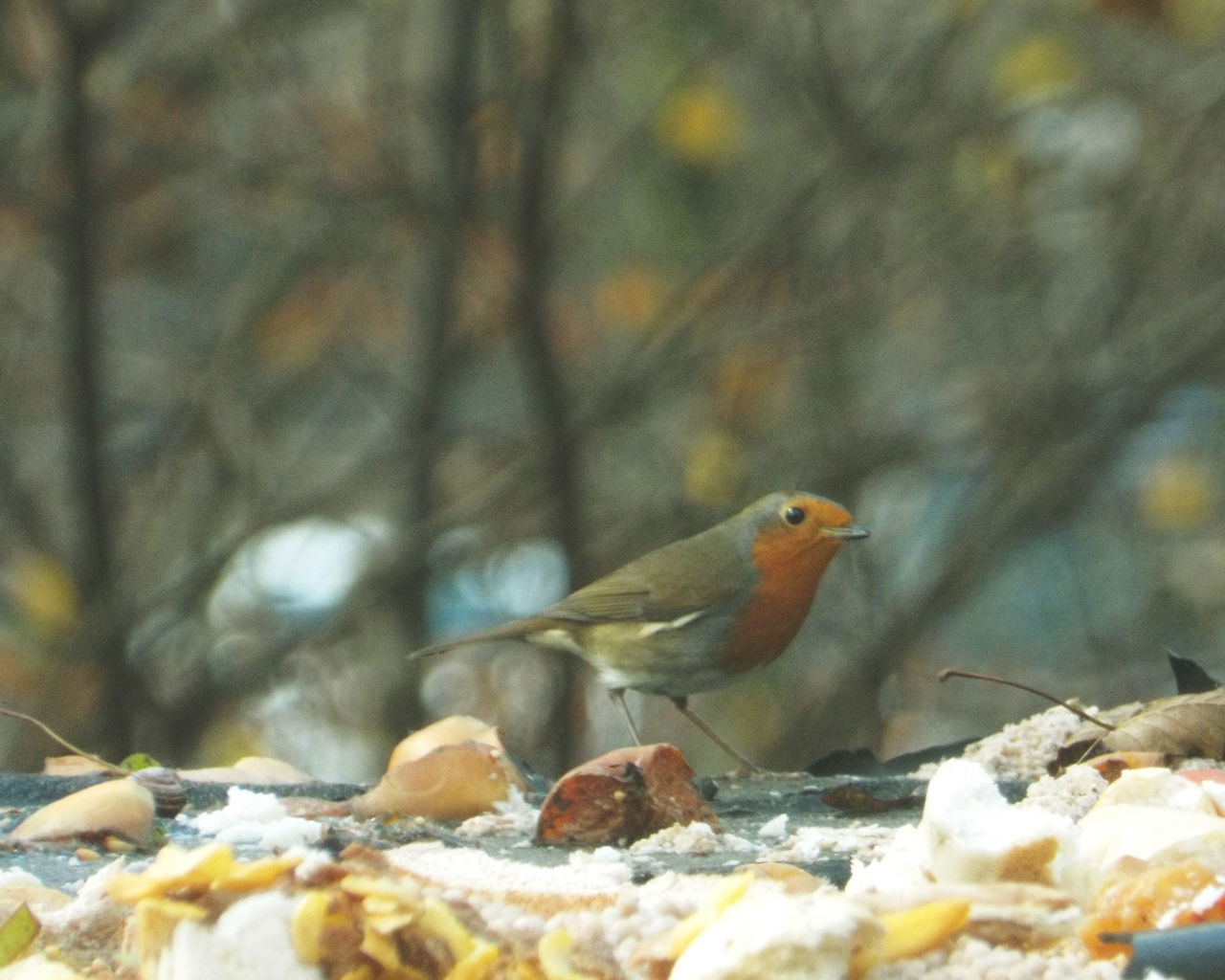 Bird Animals In The Wild Animal Wildlife Animal Themes Winter Nature Snow One Animal Perching No People Cold Temperature Outdoors Day Close-up November Animals In The Wild Nature Robin Redbreast Robin Non-urban Scene Birdwatching Garden Bird Photography OutdoorBirdfeeding
