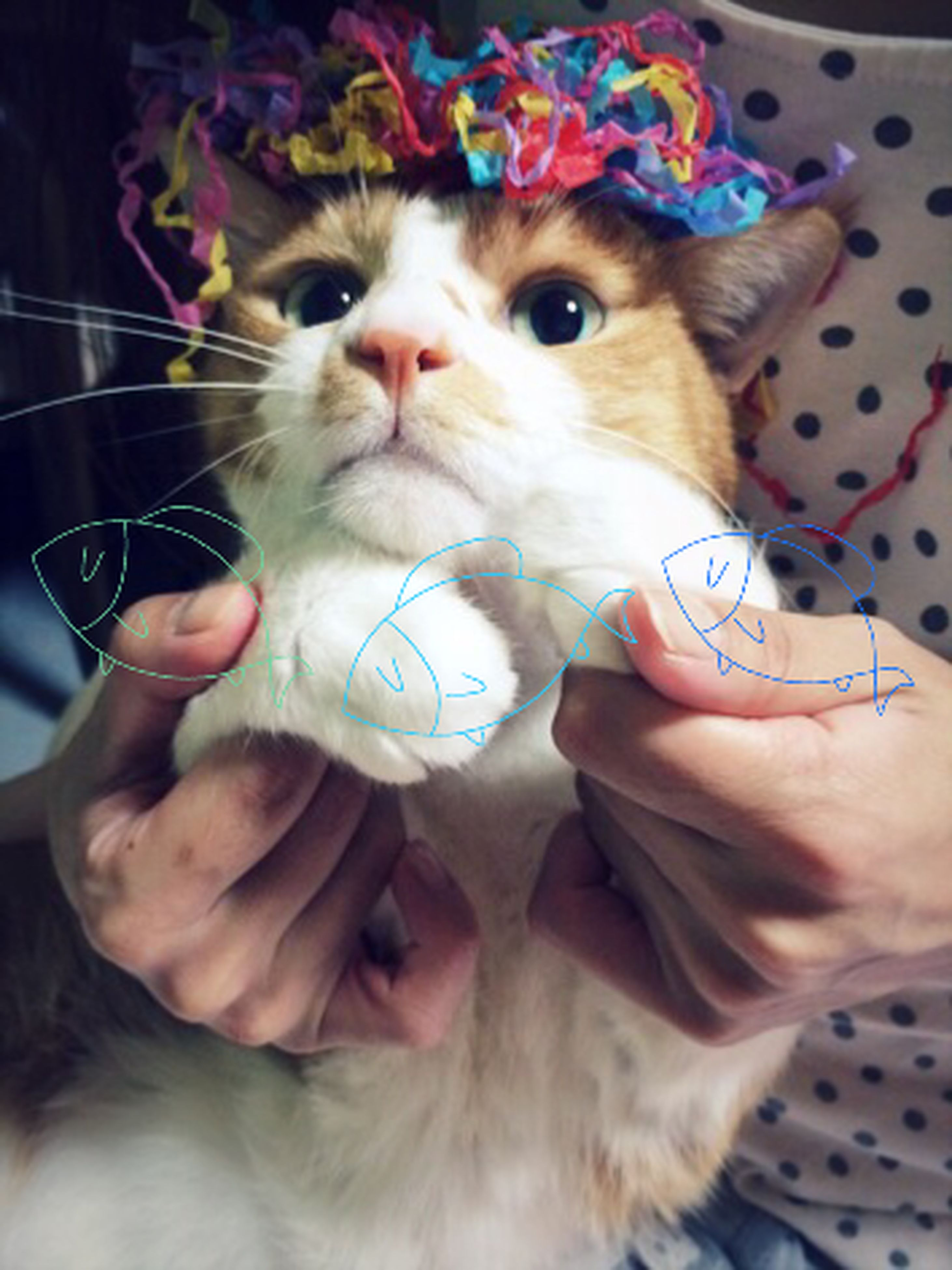 pets, indoors, person, domestic animals, animal themes, holding, domestic cat, one animal, mammal, cat, leisure activity, lifestyles, looking at camera, portrait, part of, close-up, human finger