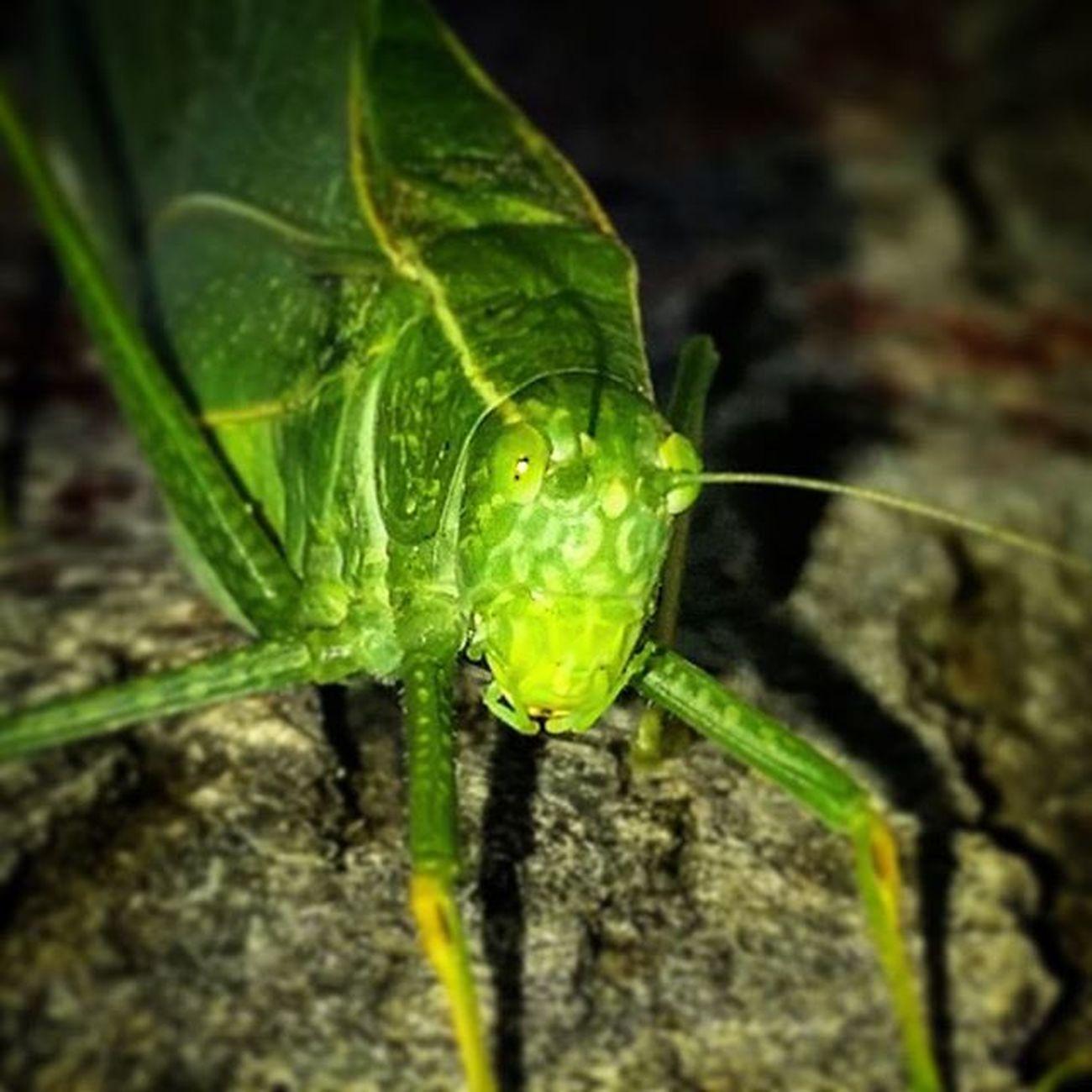 Bugs Leafbug Onecoollittleguy Greenbug Letmeseeyourgrill Leafbugs Hesahottieopper Scareme LOL
