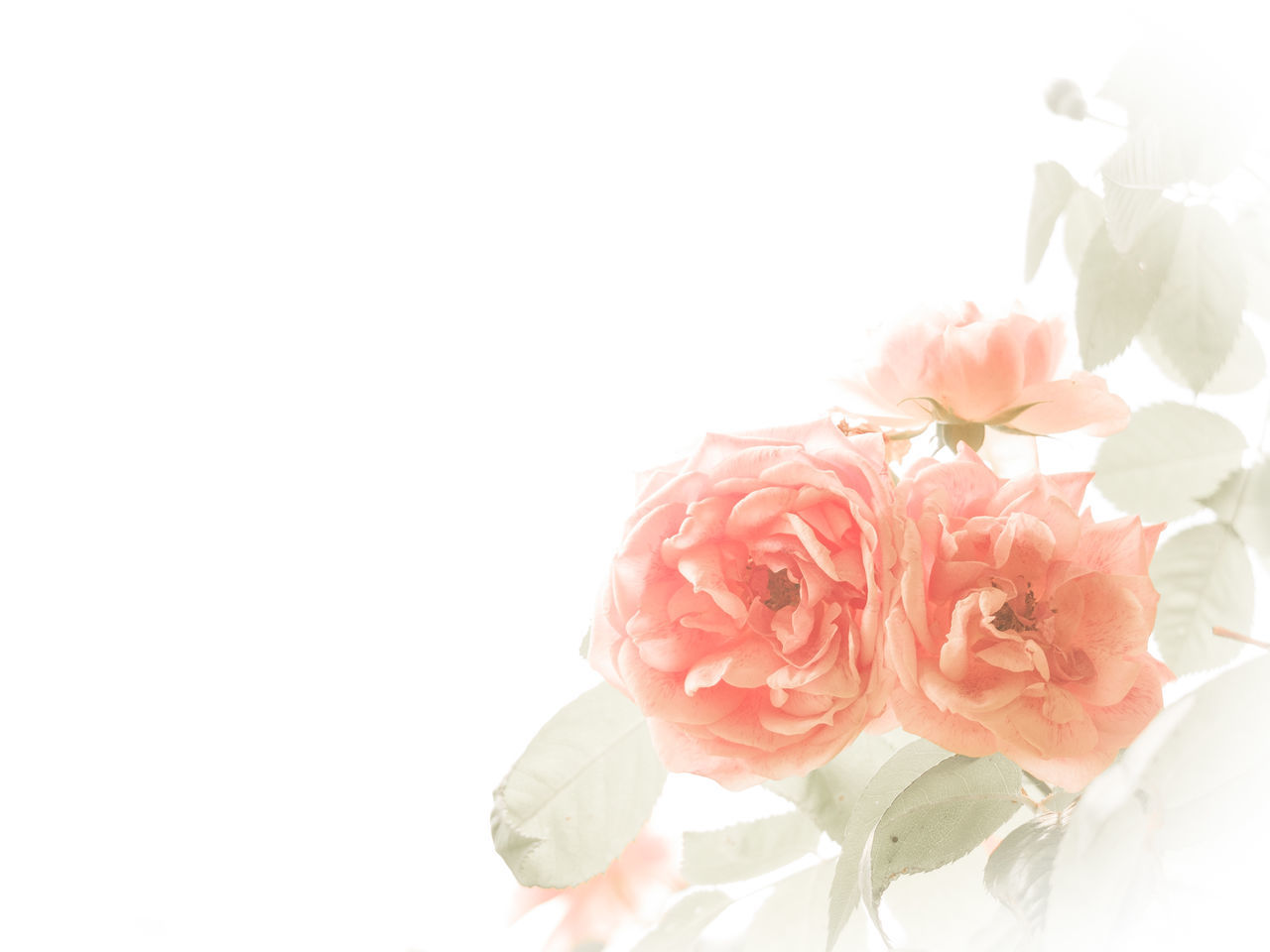 Ich kann auch anders^^: Kitsch 1 Backround Blooming Close-up Copy Space Elégance Flower Flower Head Flowery Fragility Kitschy Pastel Colors Petal Pink Pink Color Romantic Rosé Rose - Flower Softness White Background