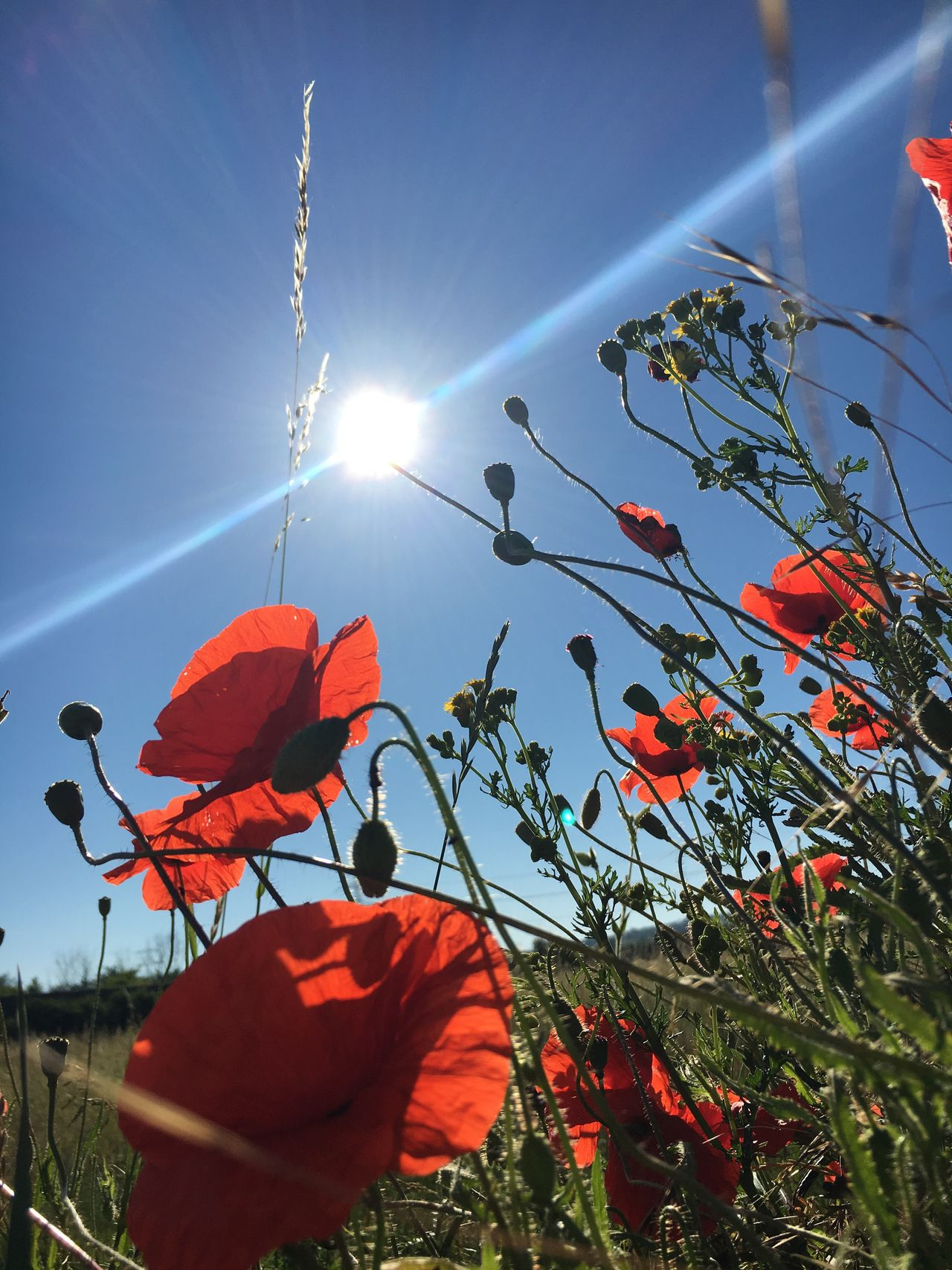 Sun Sunlight Sunbeam Lens Flare Low Angle View Outdoors Day Growth Sky No People Nature Beauty In Nature Plant Clear Sky Flower Freshness Close-up Poppy Poppy Flowers