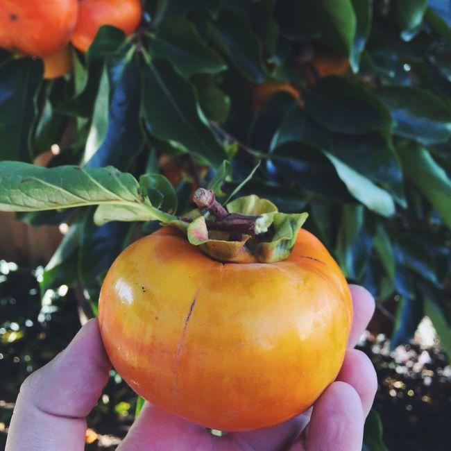 Persimmon Harvest Time Autumn Colors