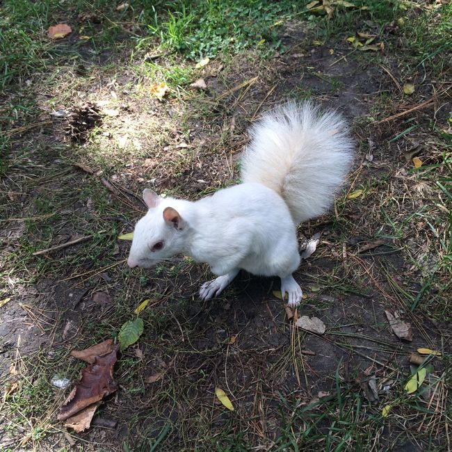 Albino Squirrel Animal Themes Canada Coast To Coast Close Up Day No People One Animal Squirrel Side View White Color White Squirrel リス クローズアップ 珍しいリス 白い動物 白リス 赤い目