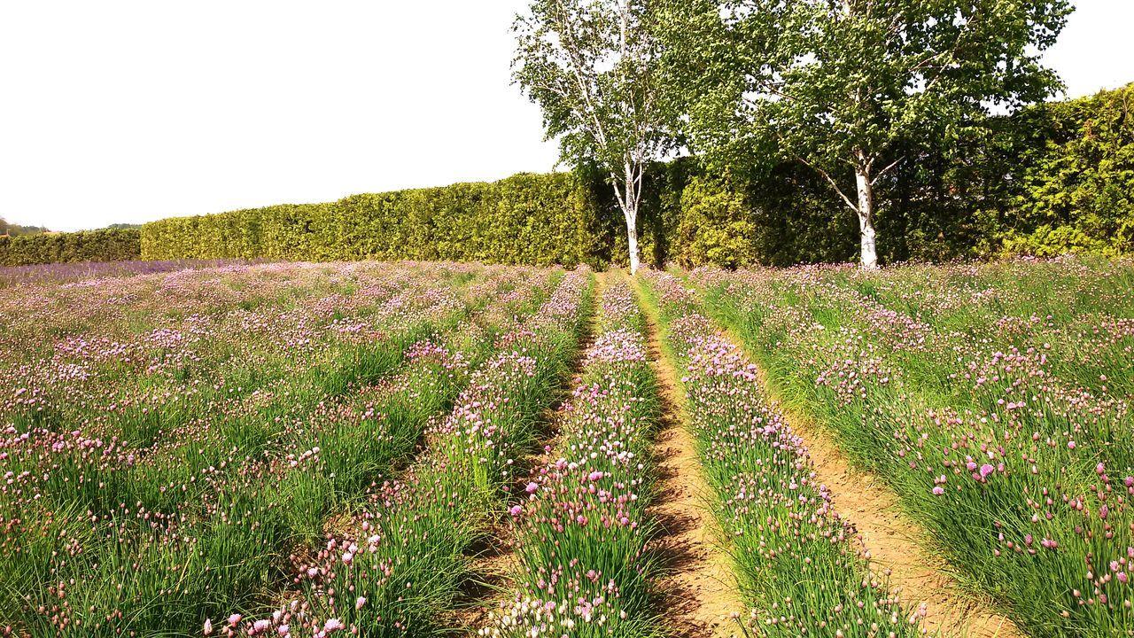 Hokkaido, Japan Sunny☀ 富良野 Purple ♥ Purple Flower Patterns In Nature Ultimate Japan