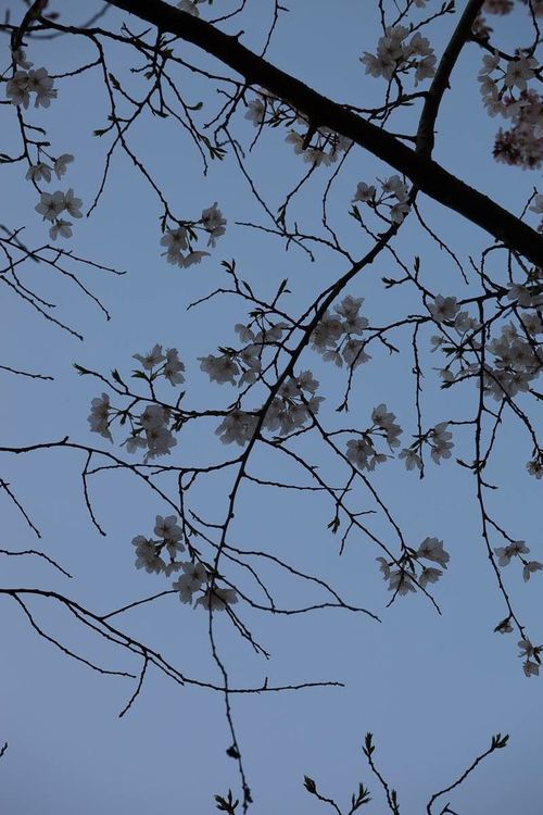 Cherryblossoms,Kyoto Pink Spring Japanese Culture Kyoto, Japan Cherry Blossoms Nature Flower Pattern Photography Sky Trees