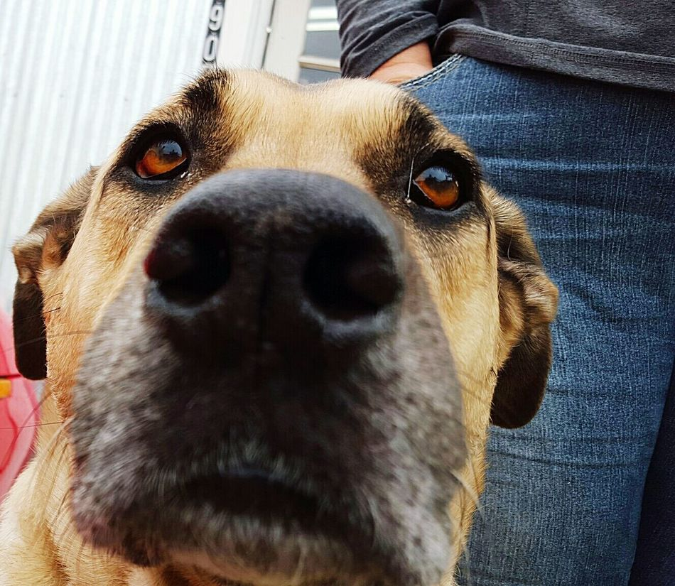 Looking At Camera Guarding Color Canine No People Mutts Dog Pet Me Observe Soft Brown Eyes Up Close