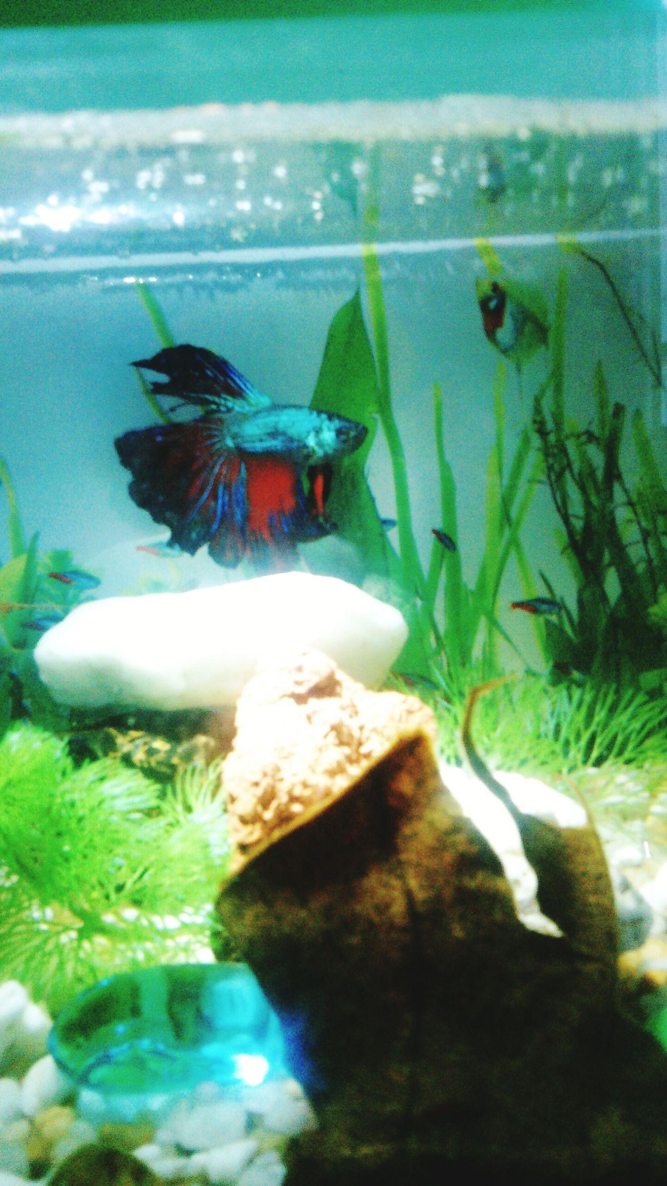 Betta Fish Ikancupang