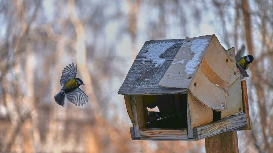 Animal Themes Animal Wildlife Animals In The Wild Beauty In Nature Bird Bird Feeder Close-up Day Flying Focus On Foreground Food Nature No People One Animal Outdoors Spread Wings Tomtit Tree Winter