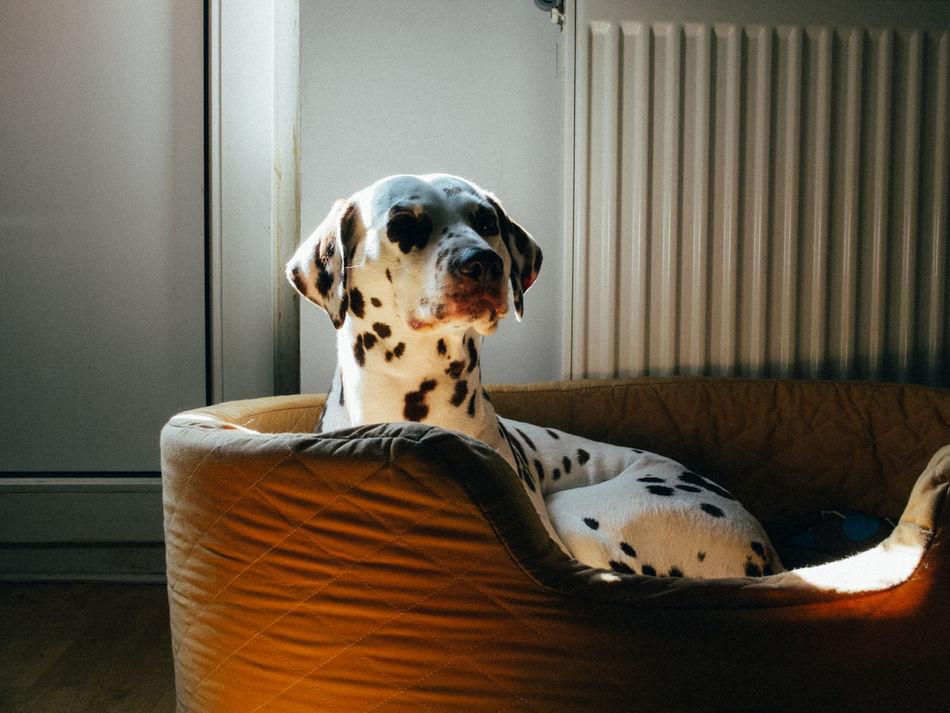 Beautiful stock photos of living room, Animal Themes, Chair, Comfortable, Dalmatian Dog