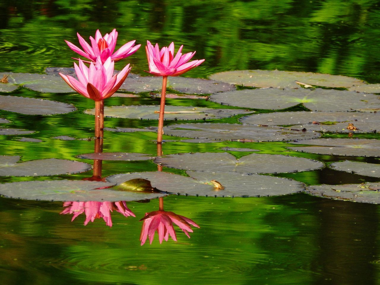 Lotus Blooming On Lake