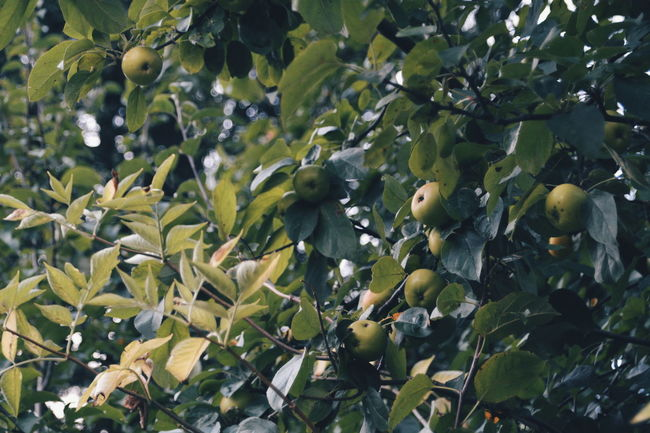 Apples Agriculture Backgrounds Beauty In Nature Berry Botany Branch Close-up Day Farm Freshness Full Frame Green Green Color Growth Leaf Lush Foliage Nature No People Outdoors Plant Plant Life Tree