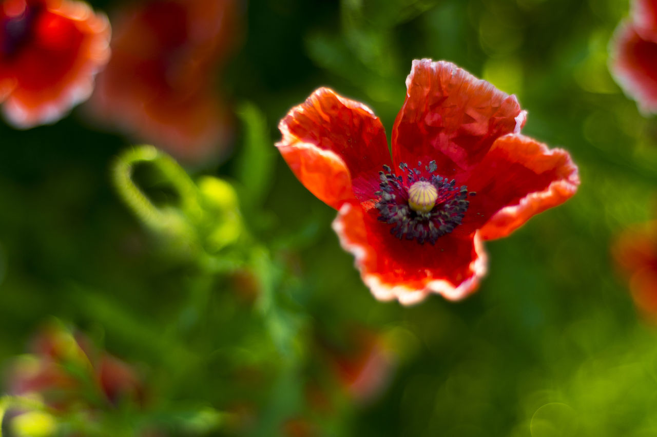Beauty In Nature Close-up Day Flower Flower Head Growth Nature No People Outdoors Plant Poppy Red