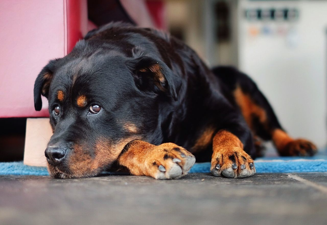 Rottweiler Relaxing On Sidewalk