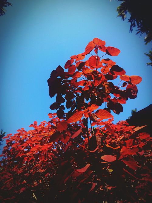 Red Leaves Leaves🌿 Tree Leaves Against Sky Tree And Sky Nature Photography Nature On Your Doorstep Sky And Leafs Red Leaf And Sky Red Leaves, Autume, Season Change Autumn🍁🍁🍁 Autumn Collection Eyeem Photography Autumn Leafs Autumnbeauty Like4like Likeforlike The Week Of Eyeem EyeEm Best Shots