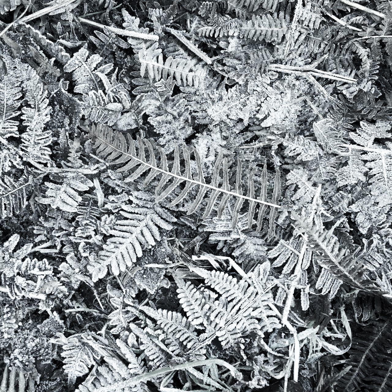 Winter walk in the woods Nature Leaf Close-up Outdoors Plant Day Beauty In Nature Fragility Landscape Still Life Frost Monochrome Blackandwhite