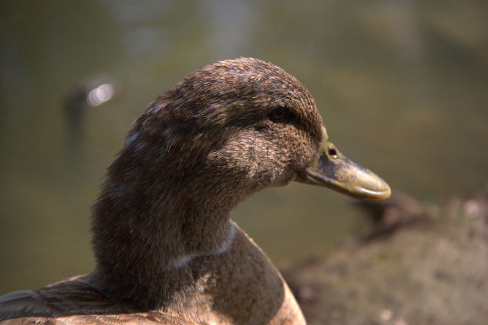 Parco Centenario Animal Themes Animal Wildlife Animals In The Wild Beak Bird Close-up Day Duck Duck Portrait Duckface EyeEm Gallery EyeEm Nature Lover Focus On Foreground Funny Lake Nature No People One Animal Outdoors Parco Centenario Sunny Day Water
