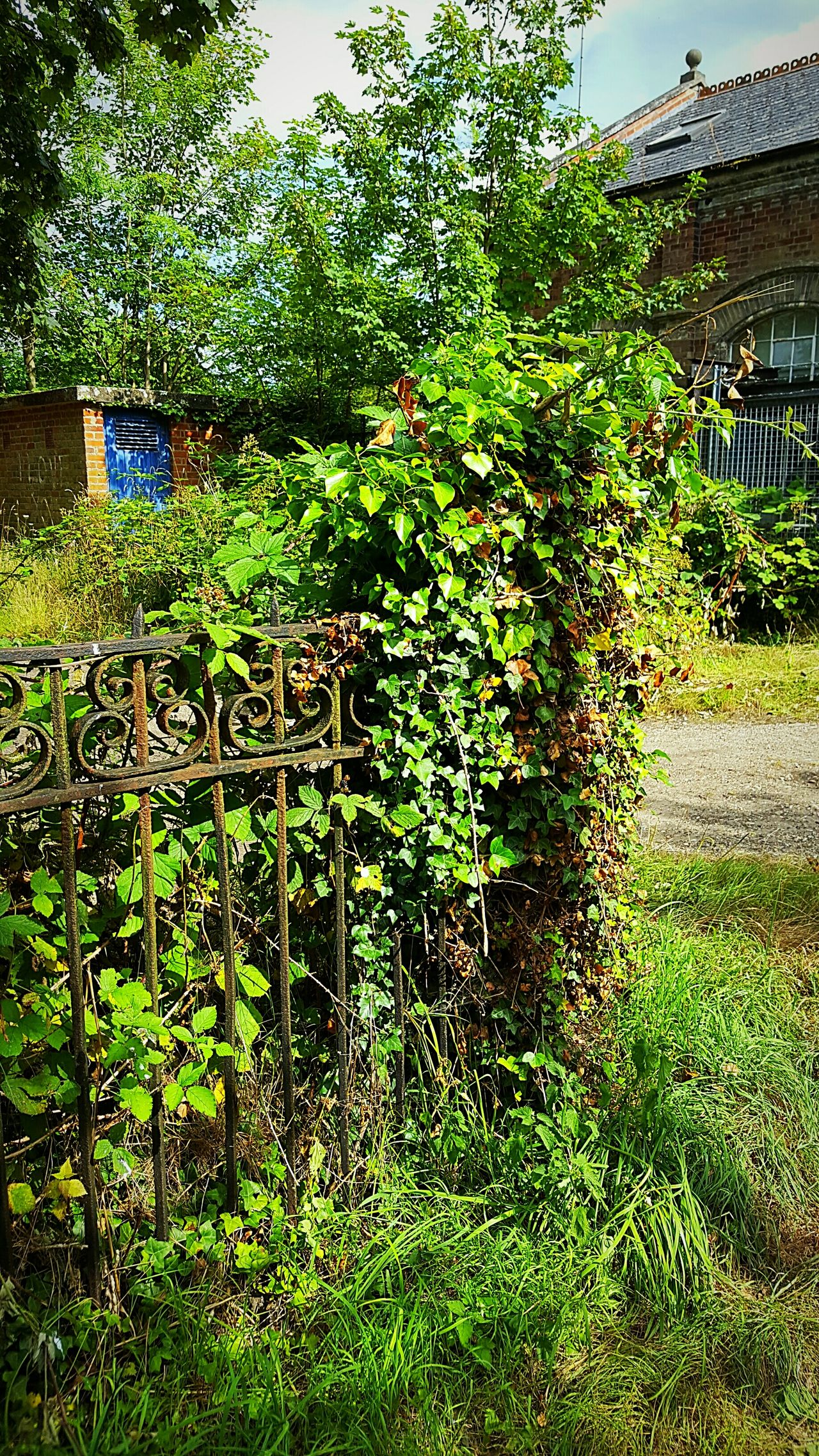 Wrought Iron Ivy Gate Victorian Victorian Gate Plant Growth Green Color Fence Built Structure Architecture Building Exterior Nature Growing Day Freshness Lawn Sky Overgrown Lush Foliage Outdoors Green Tranquility Beauty In Nature Fragility