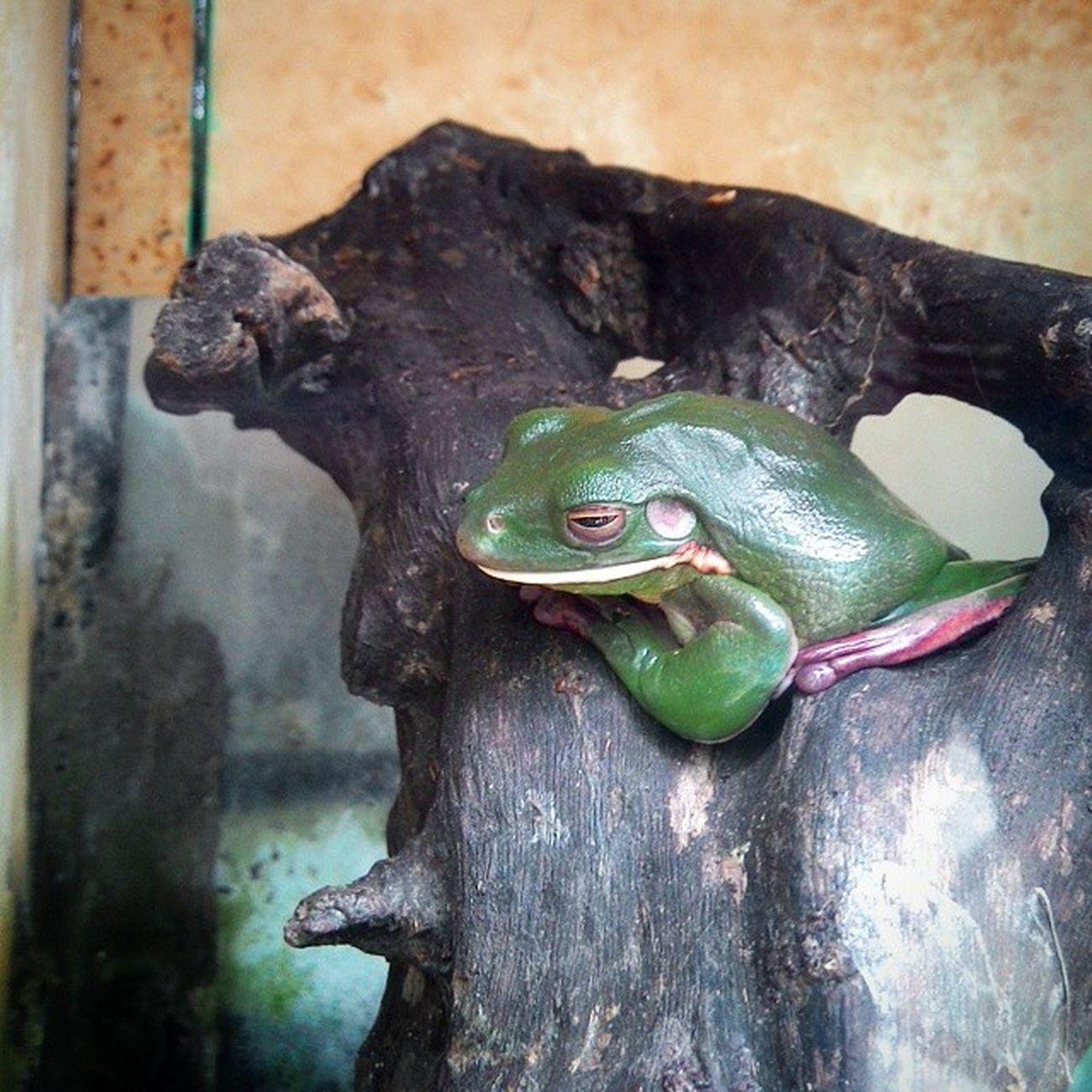 Green Frog Greenfrog Frog Animal World wild zoo binatang katak hijau kebunbinatang gembiralokazoo park