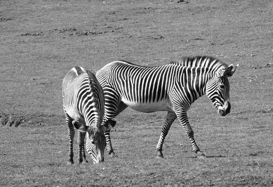 Zebras Zebra Striped Animals In The Wild Animal Themes No People Nature Full Length Animal Markings Outdoors Day Safari Animals Standing Beauty In Nature Animal Wildlife Mammal