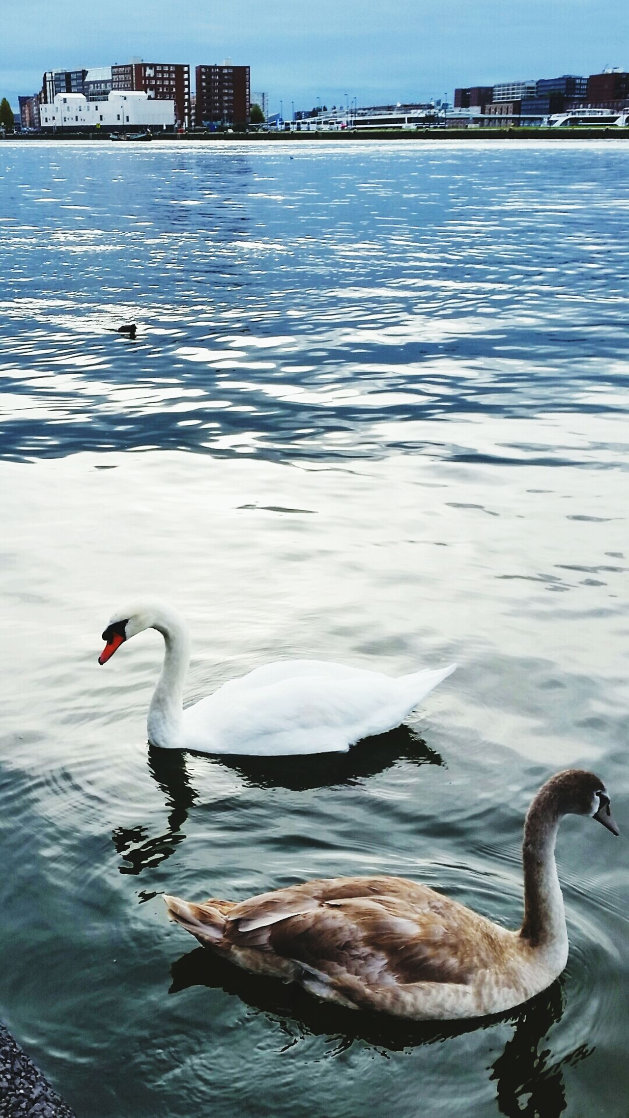 Swans in the city. Good Morning World Nature Swans Birds EyeEm Nature Lover Getting Inspired
