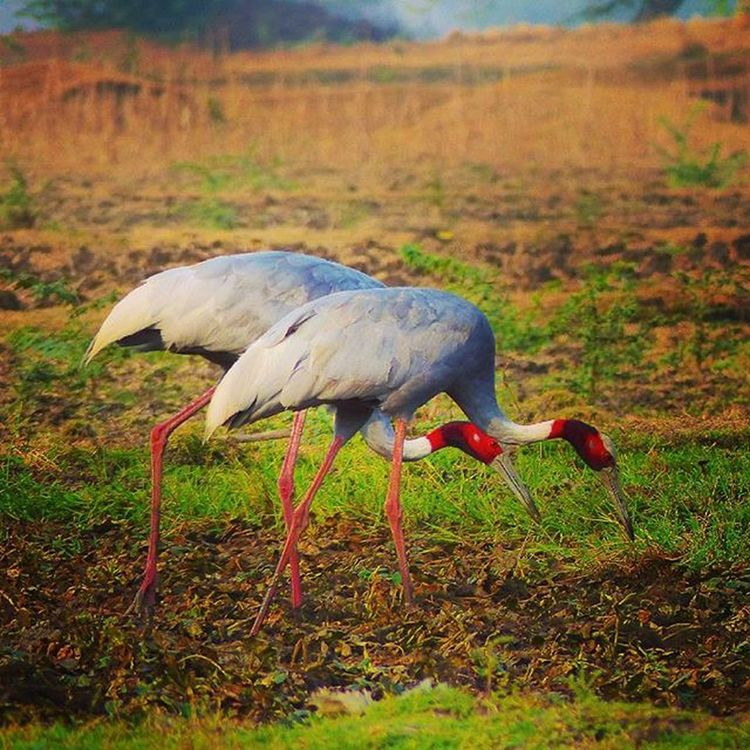 Sars crain pair Sarscrain Bird Birdwatchers Beautyfull Beautyandthebeast Beauties Jaipurdiaries 🎀 Jaipurdiaries🎀 Panasonic  Fz200 Dausa Nature Ig_naturelovers Naturelovers