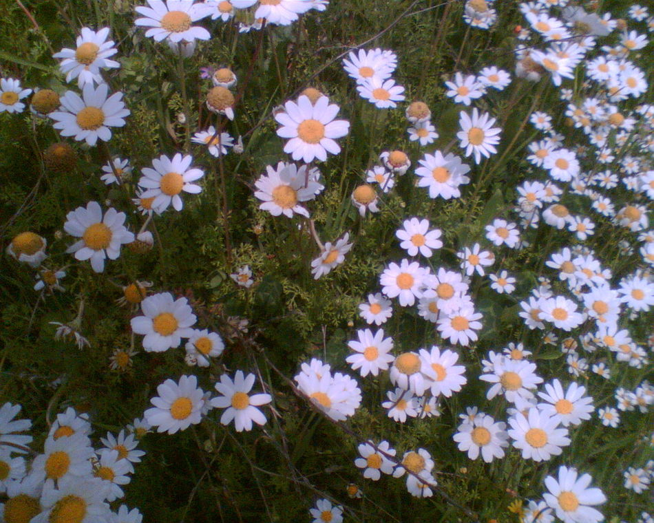 Hi! Hello World Daisy Flowers Flower Collection Flowers, Nature And Beauty NoEditNoFilter Whiteandyellow Green Nature_collection Nostalgia Spring Spring Flowers Taking Photos Enjoying Life Mycity Aydın/Turkey Adnan Menderes üniversitesi
