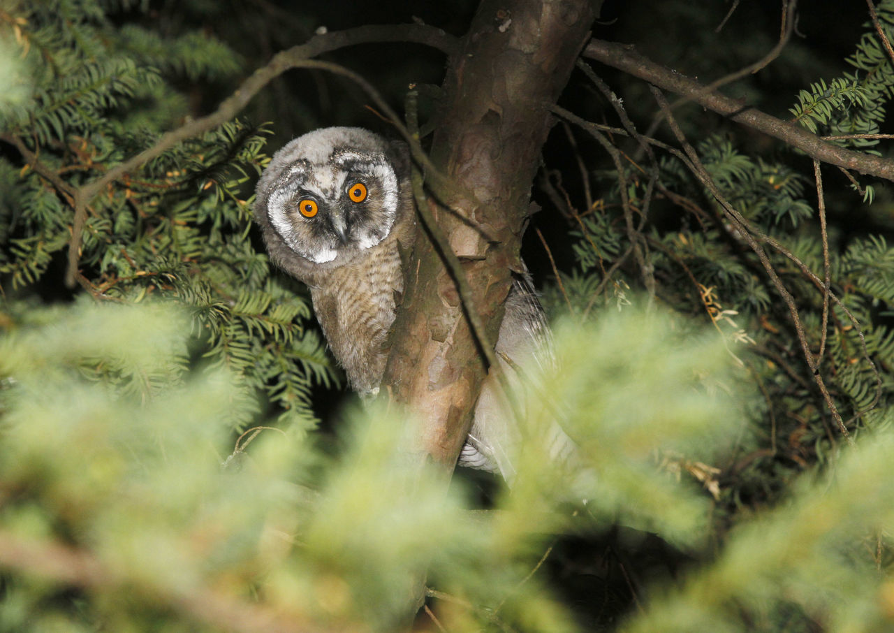 young owl , eagle owl, long eared owl. Animal Themes Animal Wildlife Animals In The Wild Bird Bird Of Prey Close-up Day Eagle Owl  Juvenile Juvenile Birds Lemur Long Eared Owl Mammal Nature No People One Animal Outdoors Owl Owl Eyes Owl Photography Owls Tree Young Young Owl