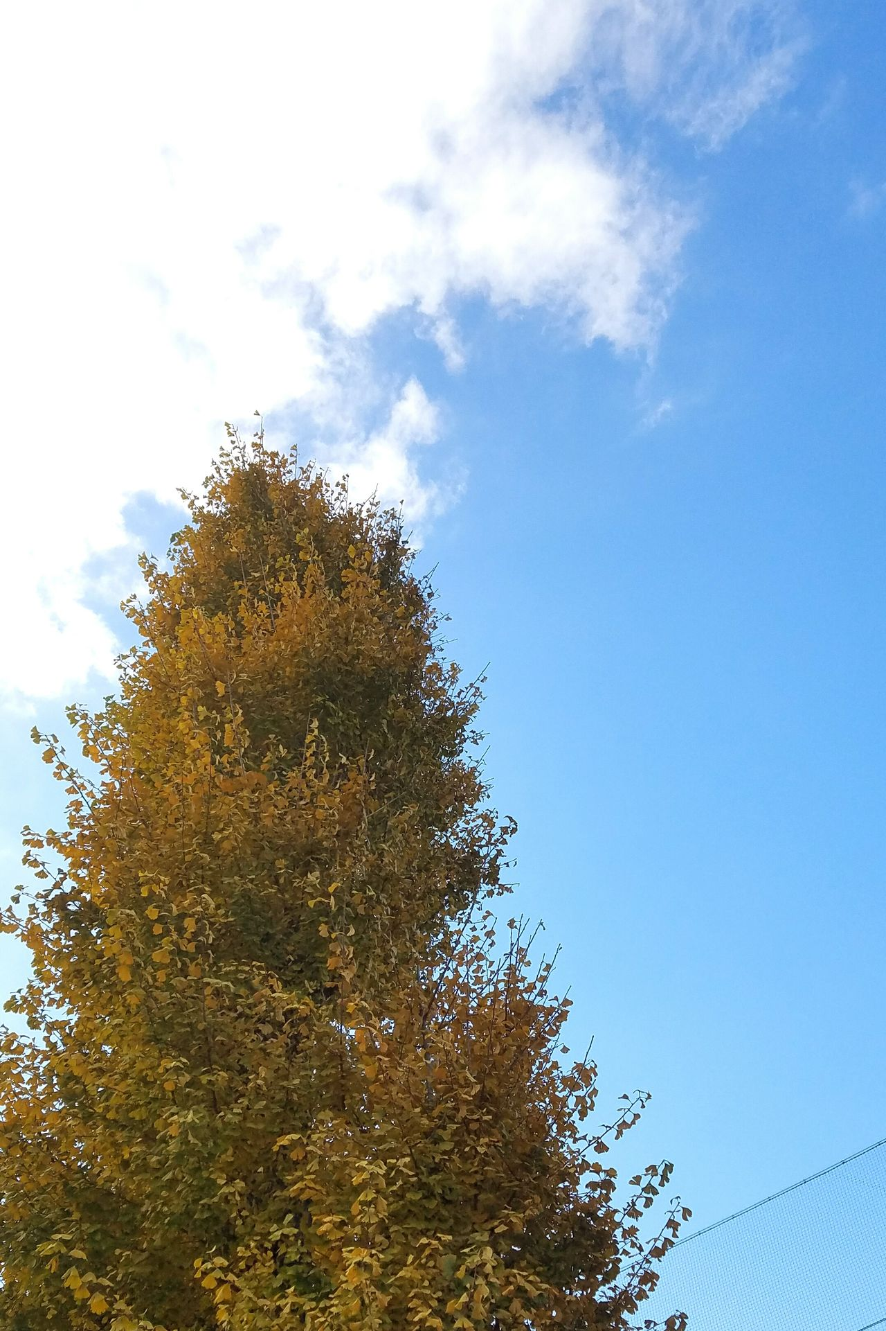 Tree Nature Beauty In Nature Sky Japanese Photography Autumn Ginkgo 空 雲 Yellowleafs