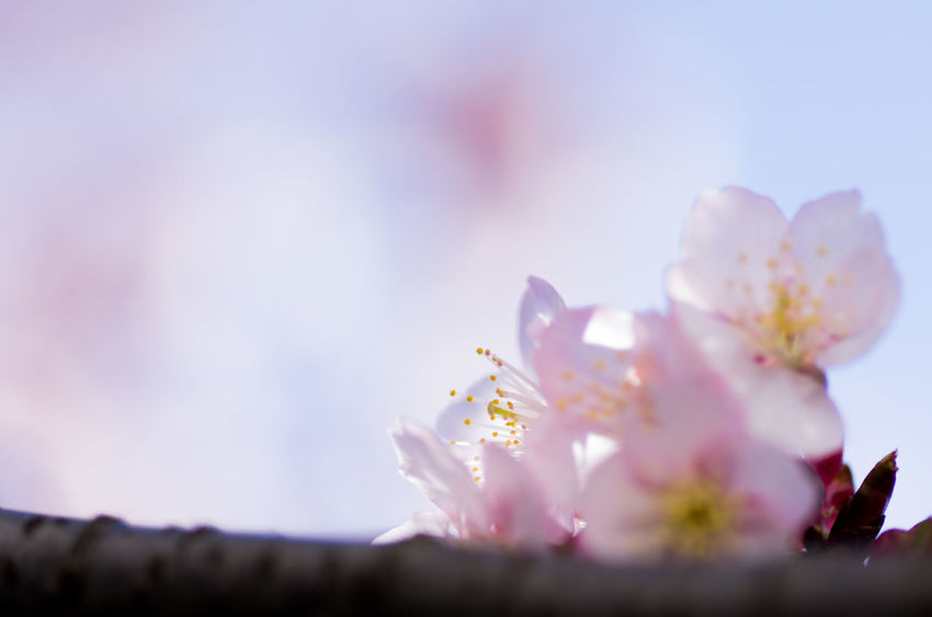 Beauty In Nature Blossom Branch Close-up Day Flower Flower Head Fragility Freshness Growth Low Angle View Nature No People Outdoors Petal Pink Color Selective Focus Springtime Tree