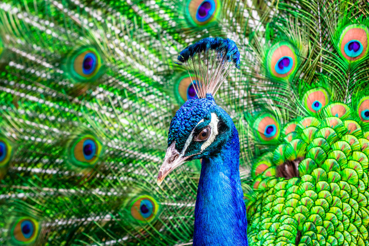 Fanned Out Peacock Blue Peacock Feathers