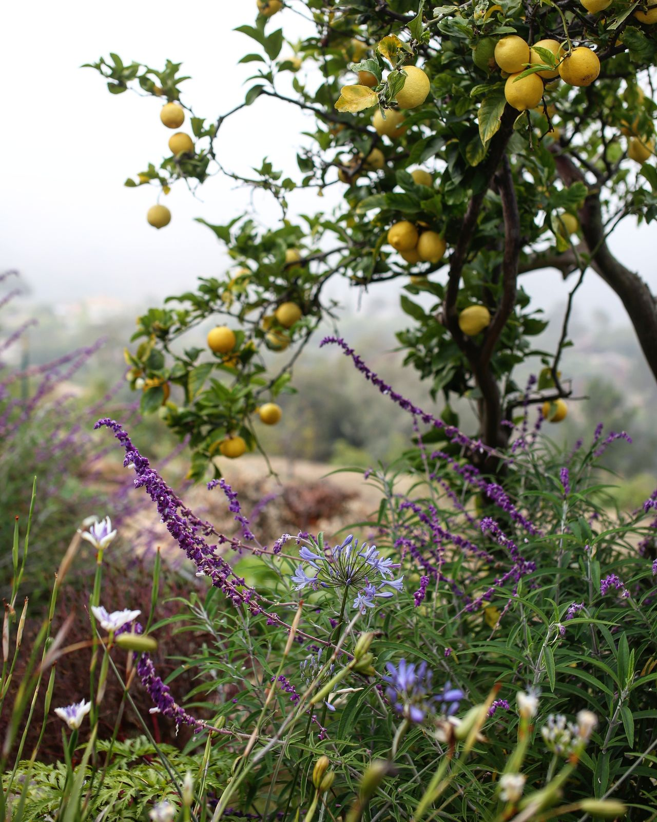 My happy place. Lemon Citrus  Citrus Fruit Garden Photography Garden Green Color Purple Flower
