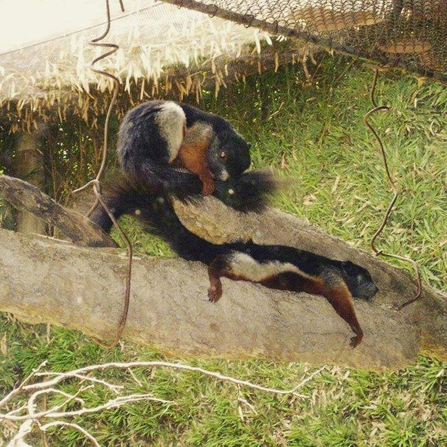 Temaiken Ardilla Squirrel Sleeping durmiendo