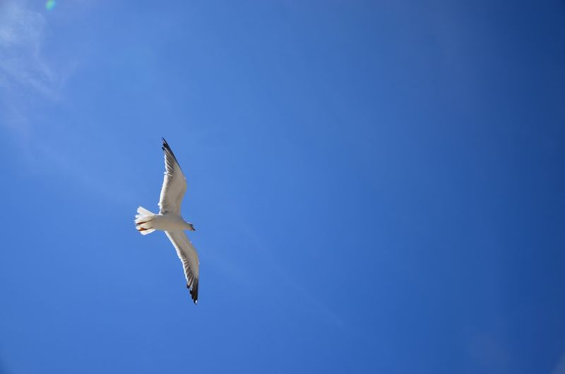 Scanaki Bird Blue Sky Simplicity Nofilternoedit D5100 D5100nikon Normandie Nature Is Beautiful Relaxing Taking Photos Enjoying Life Paysage Landscapes Sunny Day Mouette Seagull Frankreich フランス فرنسا Flying Bird Quiet Onebird Fly Freedom Perspectives On Nature